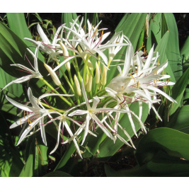Crinum Lily Tree