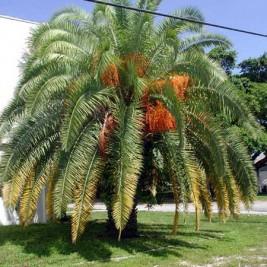 Canary Island Date Palm (Phoenix Canariensis)