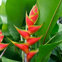 Heliconia (4ft)