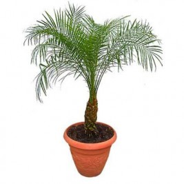 Phoenix Robellini - The Pygmy Date Palm