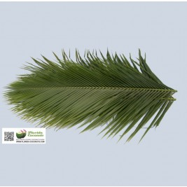 Robellini Date Palm leaves