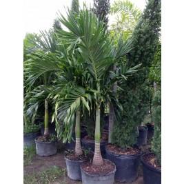 Christmas Palm Tree - Adonidia merrillii