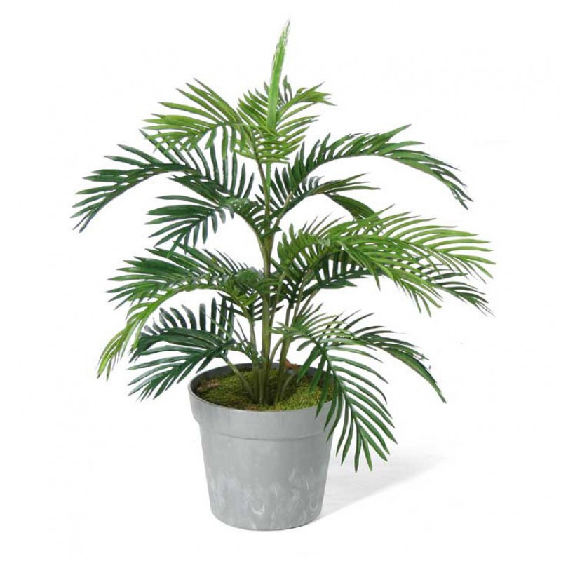 Areca palm tree alexander palm tree plants and palms for Pictures of areca palm plants