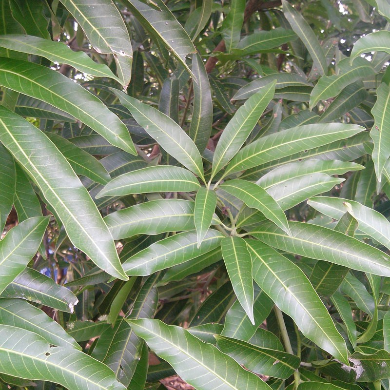 Mango Leaves - Florida Coconuts - Store