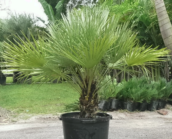 European Fan Palm Plants And Palms Florida Coconuts