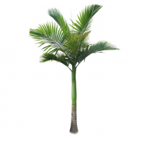 Alexander Palm Tree