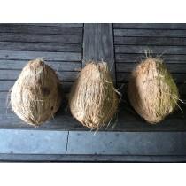 Coconut for Pooja (Puja) - Big