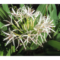 Crinum Lily Tree
