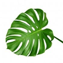 Monstera Leaves