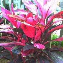 Red Sister - Cordyline fruticose