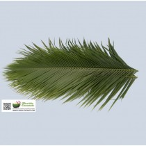 Phoenix Robellini - The Pygmy Date Palm Leave
