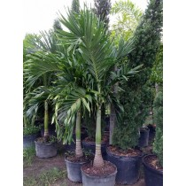 Christmas Palm Tree - Adonidia merrillii