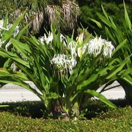 Crinum Lily Tree Florida Coconuts Store