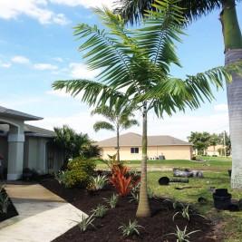 Veitchia Montgomery Palm Tree Christmas Palm Plants