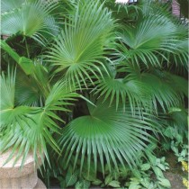 Chinese Palm Tree