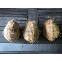 Coconut for Pooja (Puja) - Big