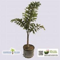 Foxtail Palm Tree