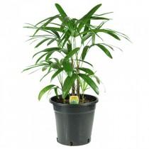 Lady Palm Tree