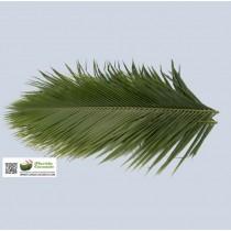 Phoenix Robellini - The Pygmy Date Palm Leave